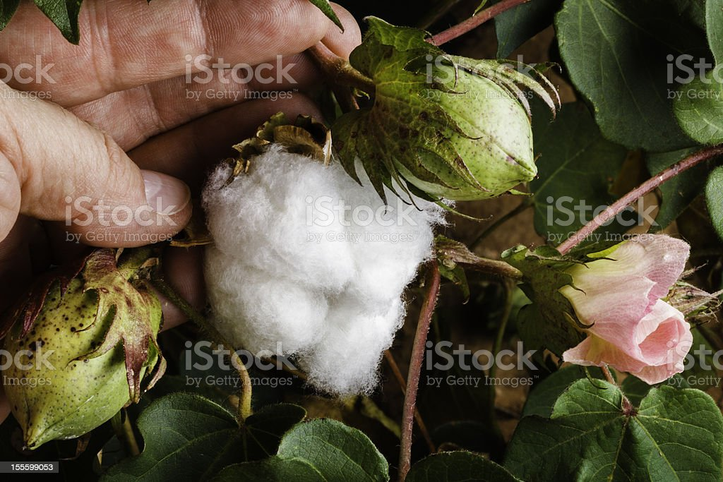 Cotton Plant 3 stages: flower, pod, ripe boll stock photo