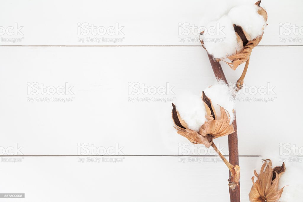 Cotton plant background stock photo