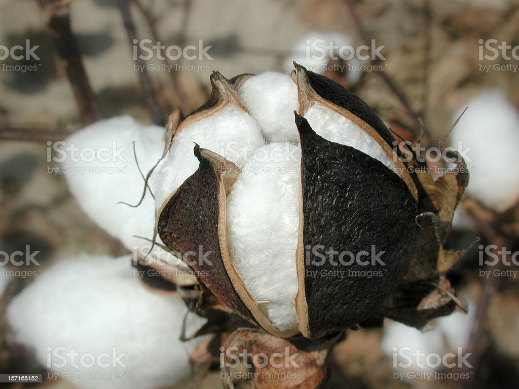 Cotton Plant Close Up royalty-free stock photo