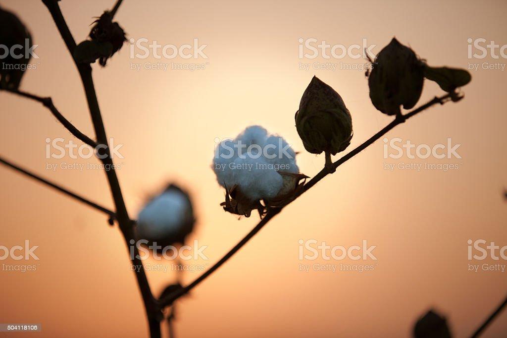 Cotton Plant Close Up stock photo