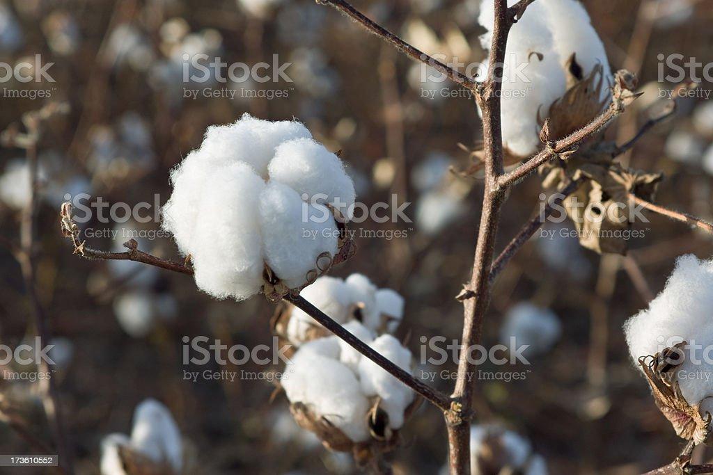 Cotton Plant Close-up stock photo