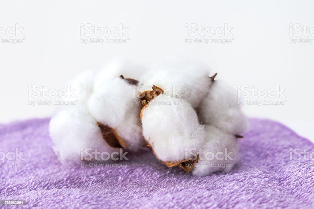 Cotton plant flower stock photo