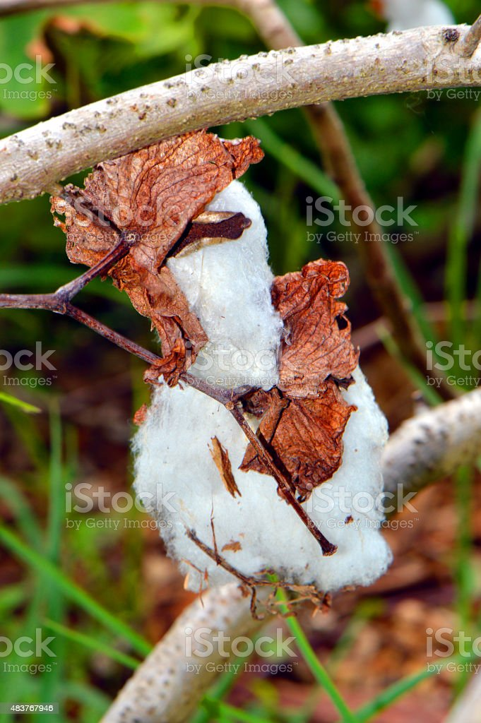 Cotton plant Latin name gossypium hirsutum stock photo