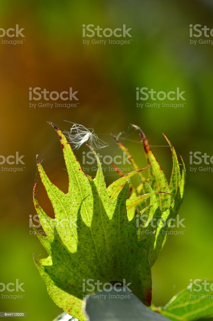 Cotton plant leaf, backlit with single airborne seed stock photo