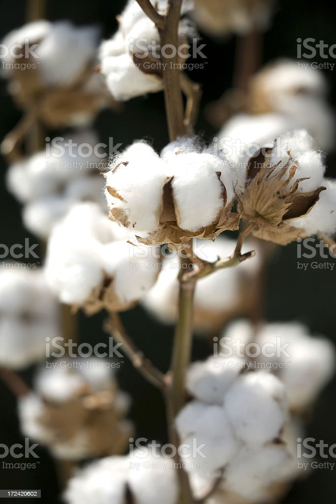 Cotton Plant royalty-free stock photo