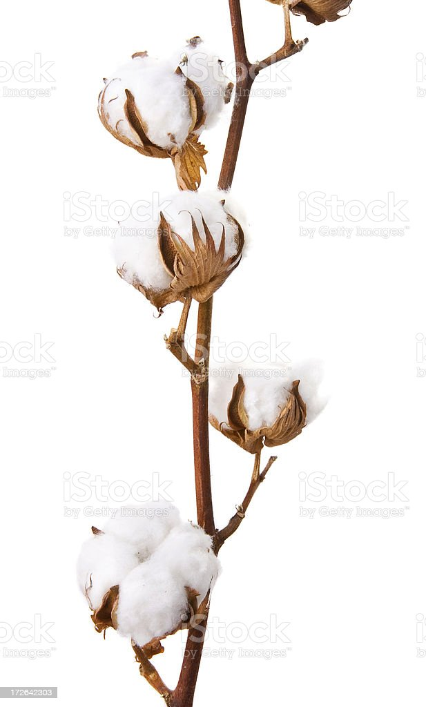 cotton plant royalty-free stock photo