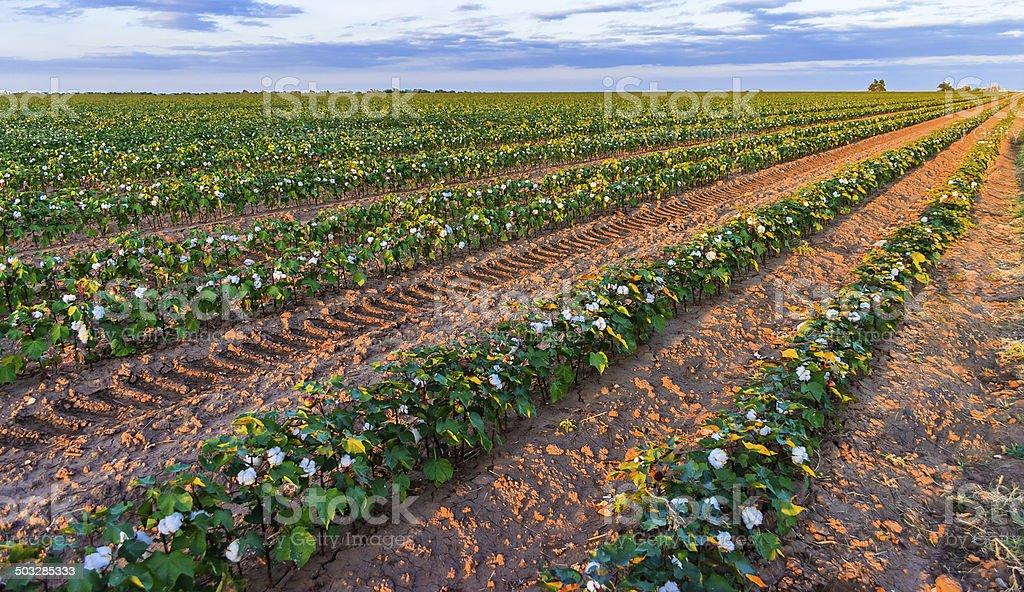 cotton plants rows in field near Lubbock Texas at sunset stock photo