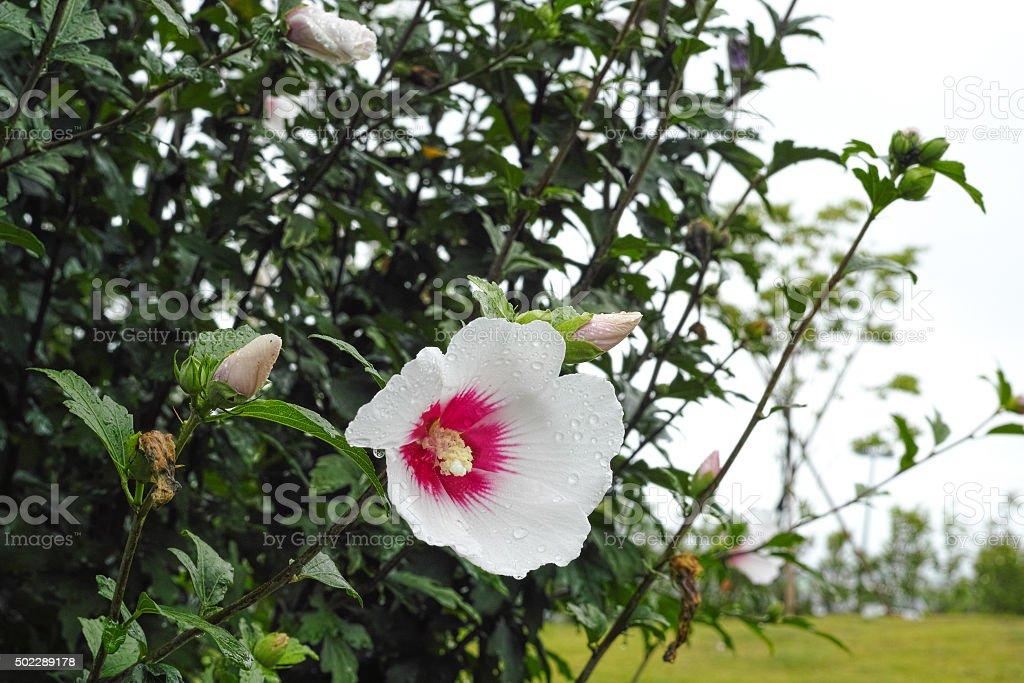 Coton rose fleur photo libre de droits