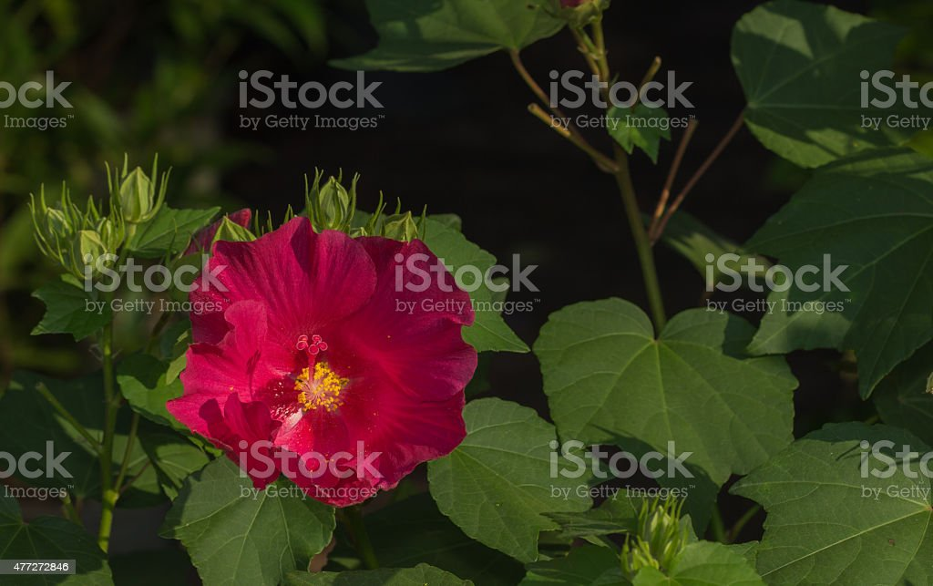 Cotton rose hibiscus or Rose of Sharon flower stock photo