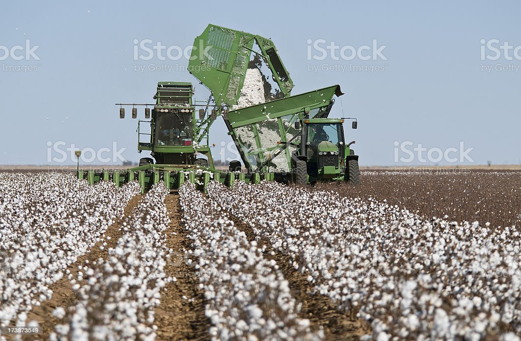 Cotton Stripper Harvesting Crop stock photo