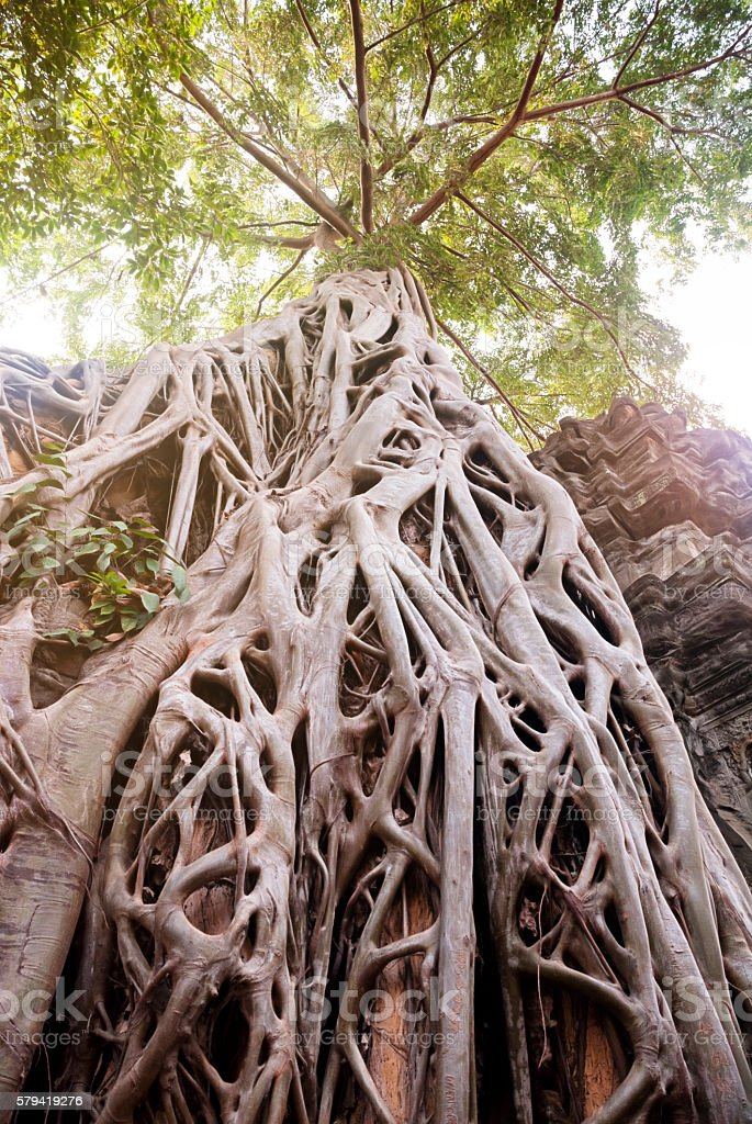 Cotton tree roots on Ta Prohm Temple, Ancient Angkor, Cambodia stock photo
