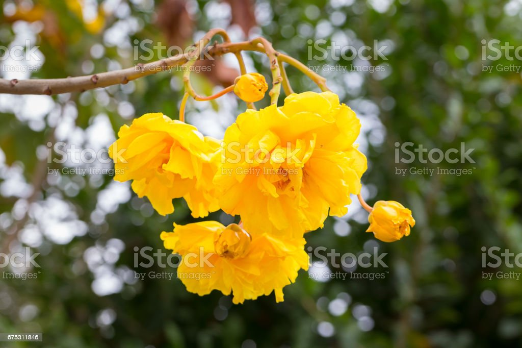 Cotton Tree, Yellow Silk Cotton, Butter Cup flower stock photo