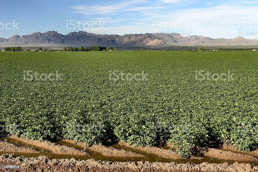 Cottonfield royalty-free stock photo