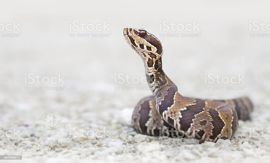 Cottonmouth stock photo