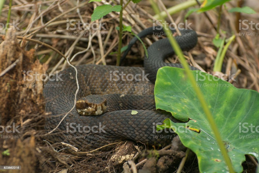 Cottonmouth Water Moccasin stock photo