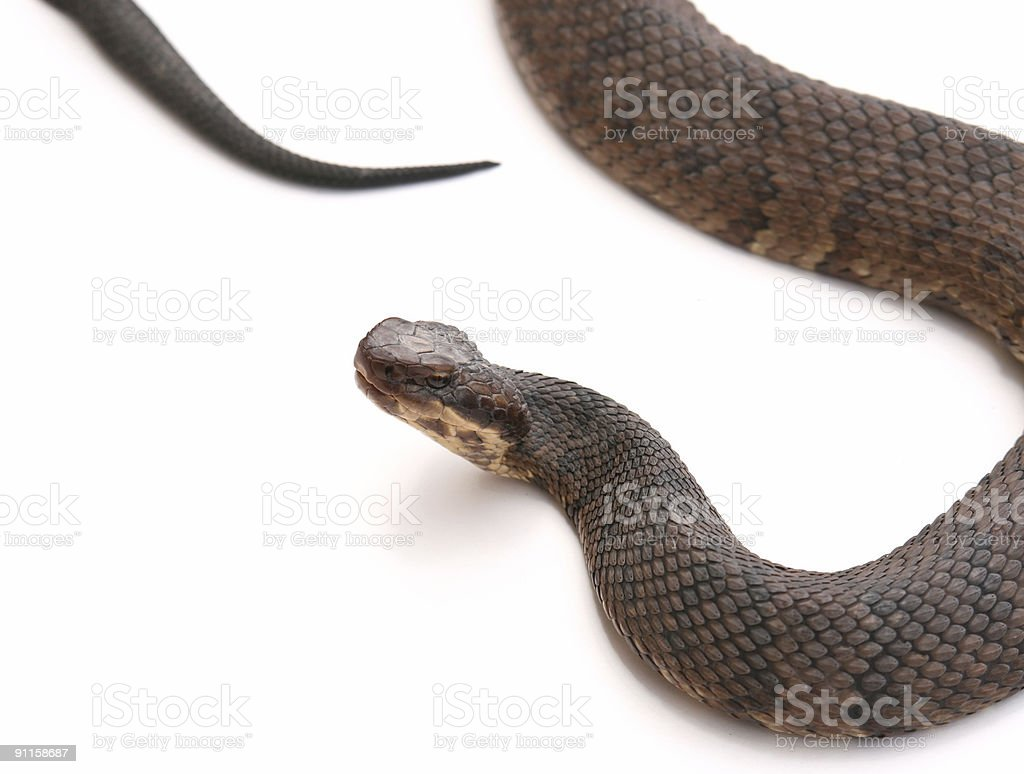 Cottonmouth - Water Moccasin stock photo