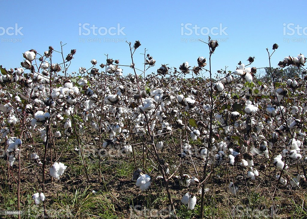 Cotton's popped, cotton field royalty-free stock photo