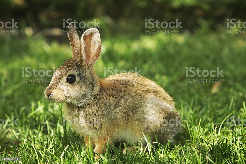 Cottontail Baby Rabbit Sylvilagus nuttallii royalty-free stock photo