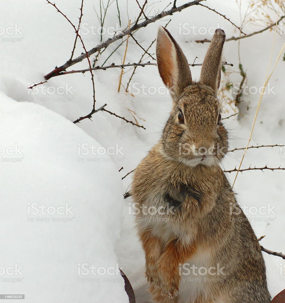 Cottontail rabbit looking up in the snow stock photo