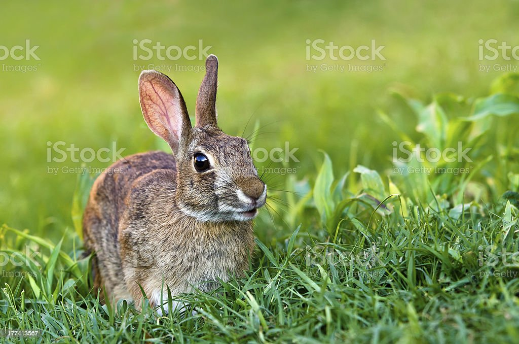 Cottontail rabbit on grass stock photo