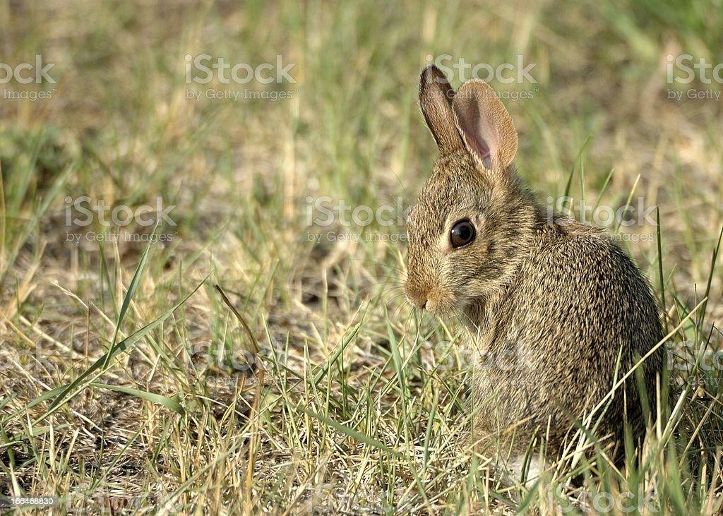 Cottontail Rabbit royalty-free stock photo