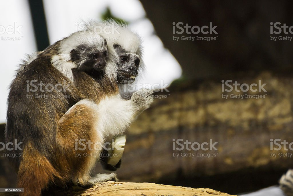 Cotton-Top Tamarin Mother and Baby stock photo