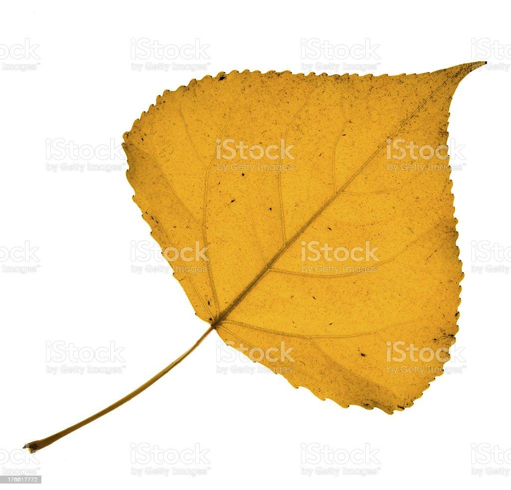 Cottonwood leaf royalty-free stock photo