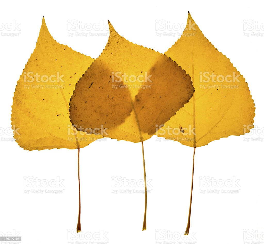 Cottonwood leaves-Autumn royalty-free stock photo