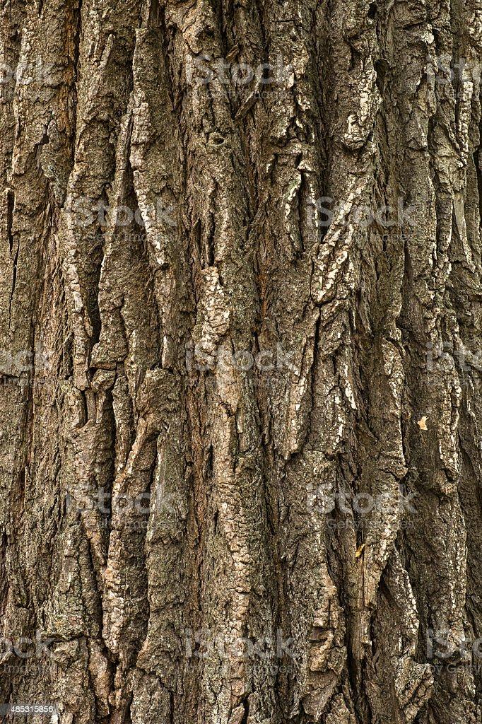 Cottonwood Tree Bark Close Up stock photo