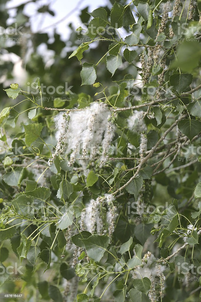 Cottonwood Tree Branches royalty-free stock photo