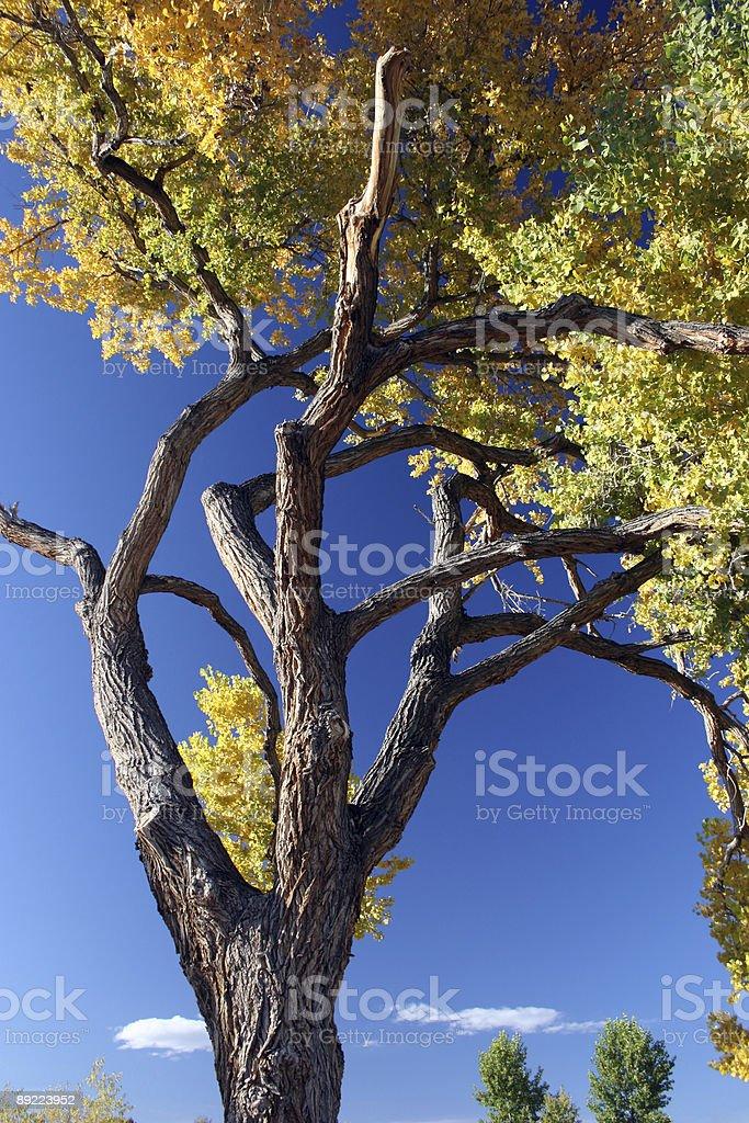 Cottonwood Tree in Autumn royalty-free stock photo