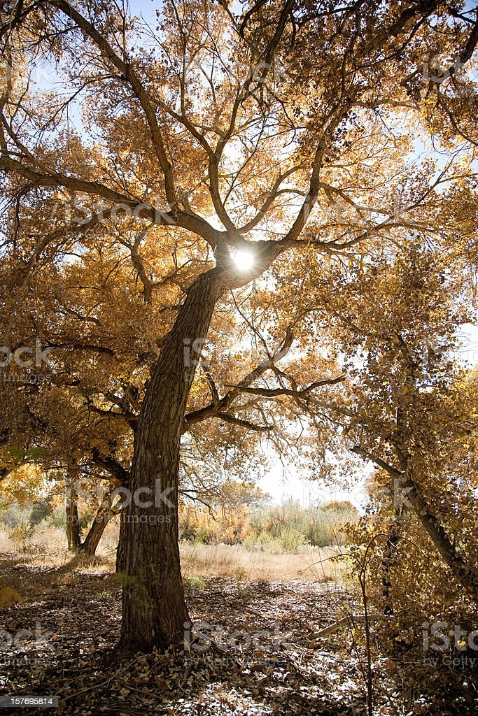 Cottonwood Tree in Fall Colors royalty-free stock photo