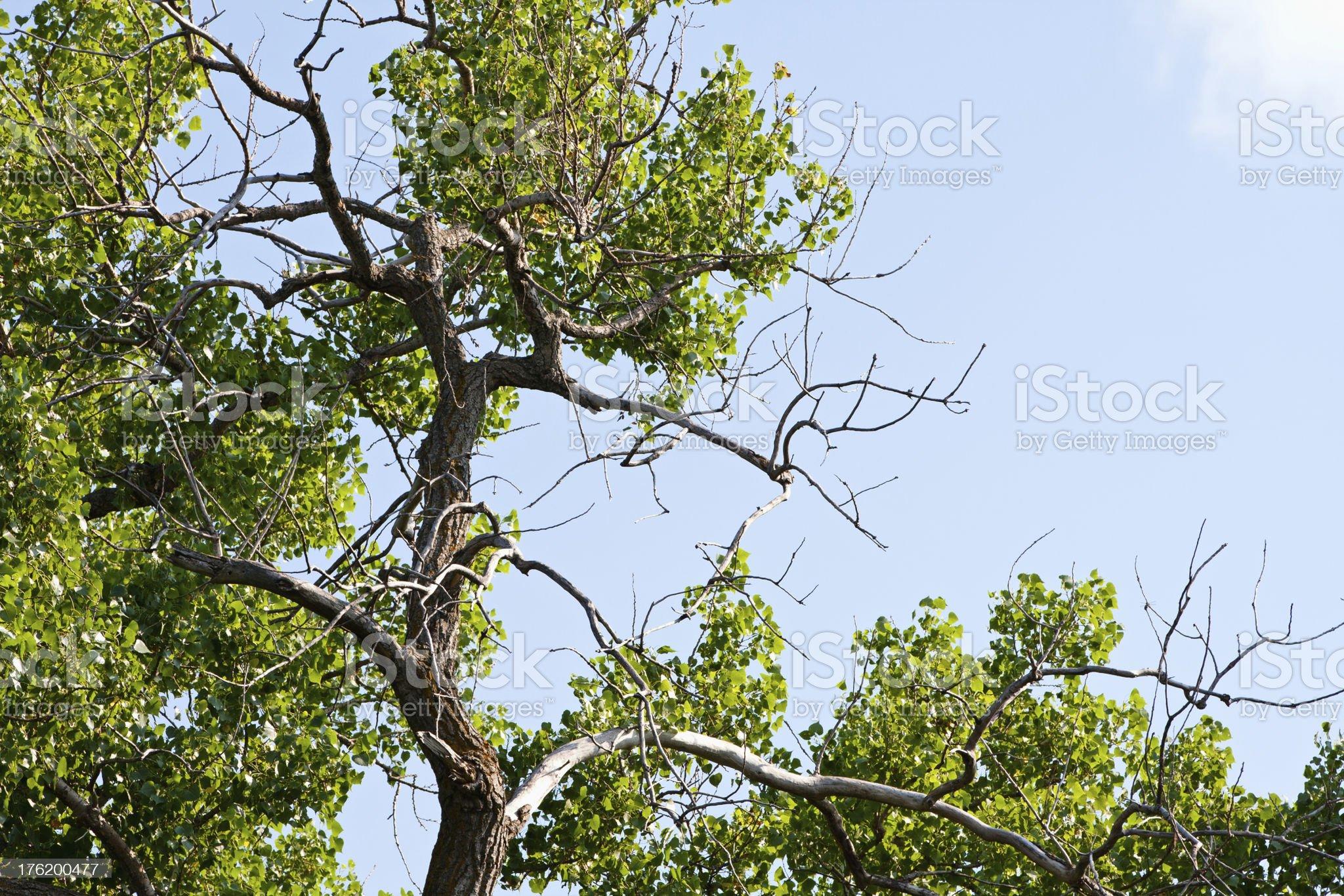 Cottonwood Tree royalty-free stock photo