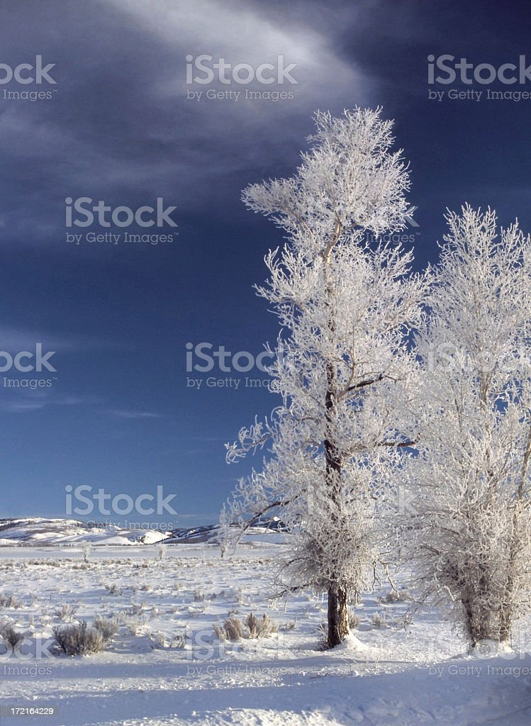 Cottonwood Trees in the Snow royalty-free stock photo