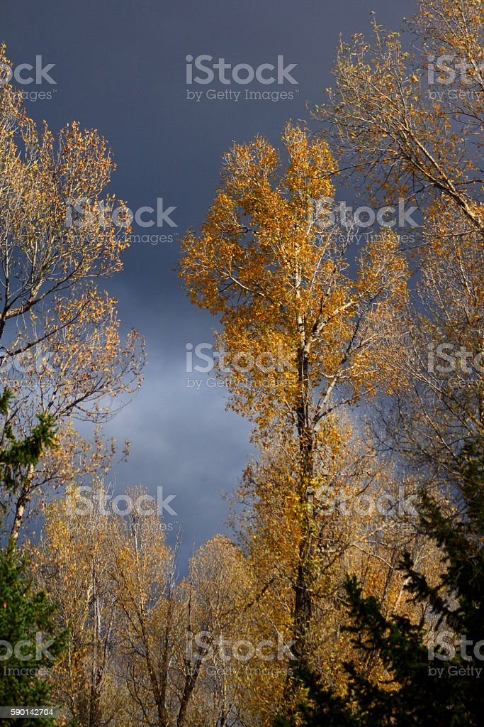 Cottonwood Trees stock photo