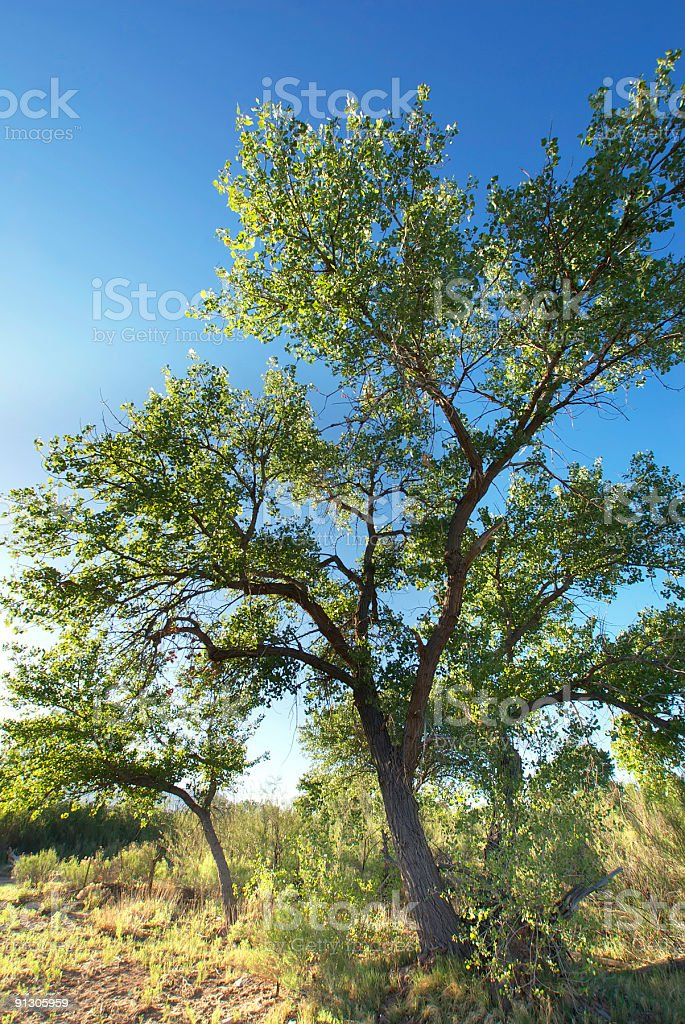 cottonwood trees stock photo