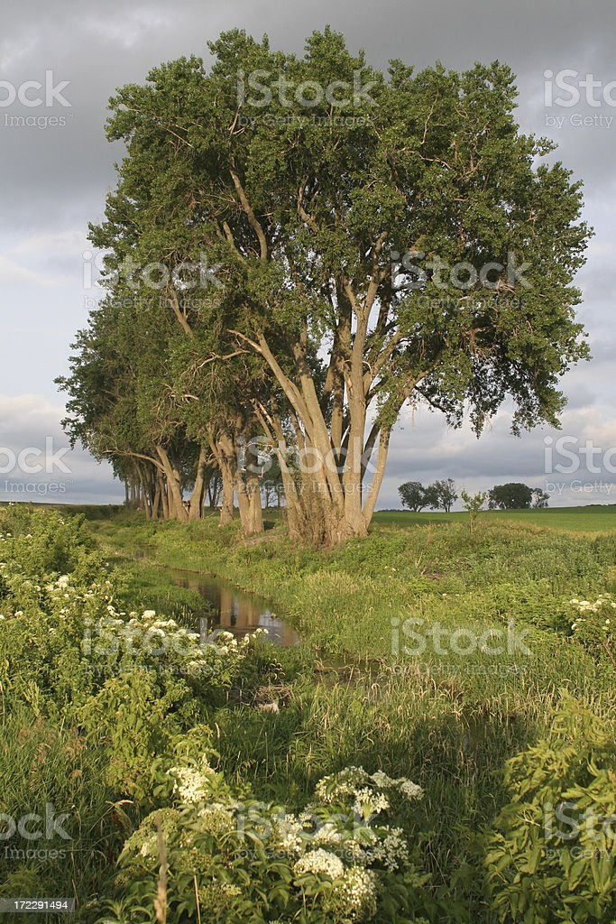 Cottonwoods and Elderberry Blossoms on Stream royalty-free stock photo