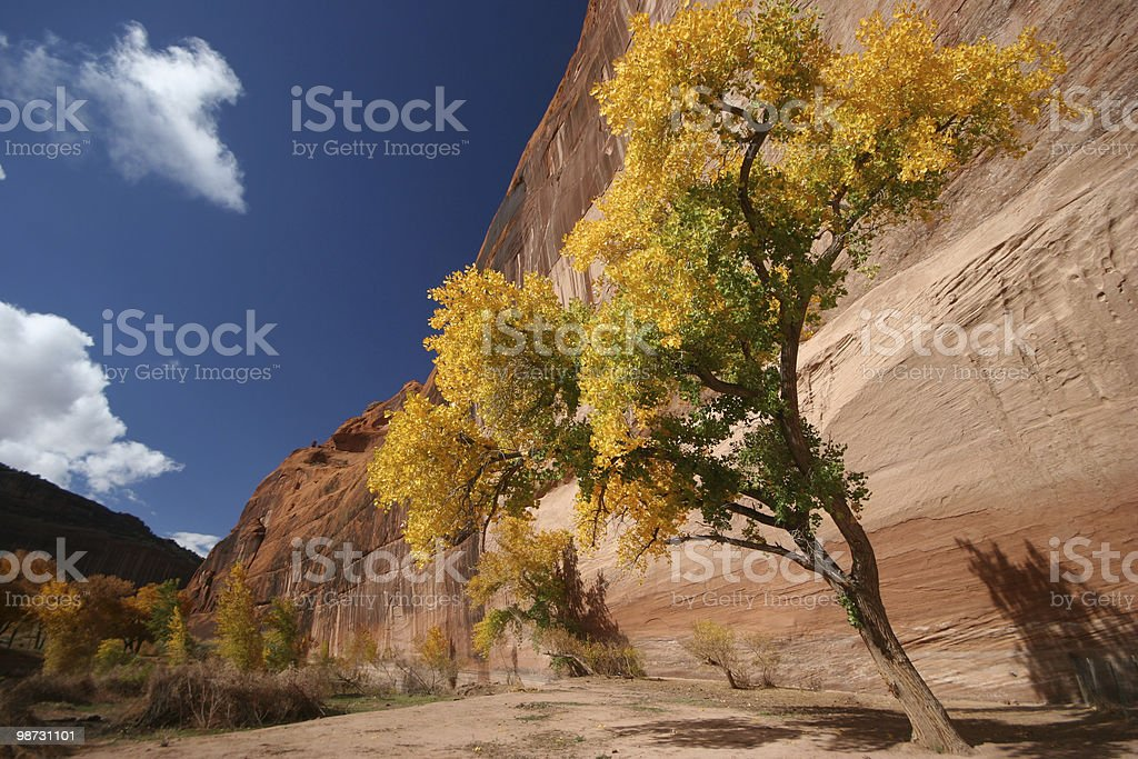Cottonwoods in Canyon De Chelly royalty-free stock photo