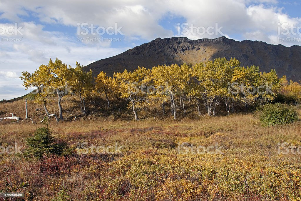 Cottonwoods' Last Stand royalty-free stock photo
