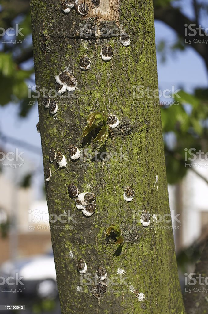 Cottony cushion scale insects on tree trunk stock photo