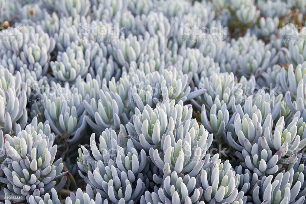 Cotyledon orbiculata variety oophylla AKA Lady Fingers stock photo