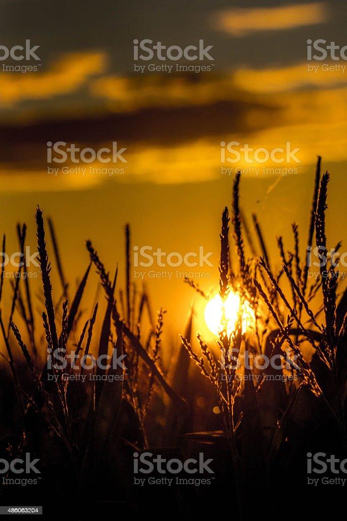 Couché du soleil sur un champs de maïs stock photo