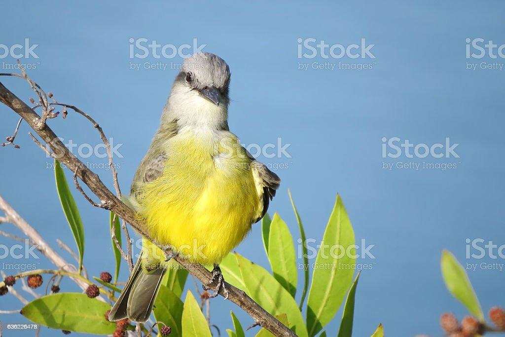 Couch's Kingbird stock photo