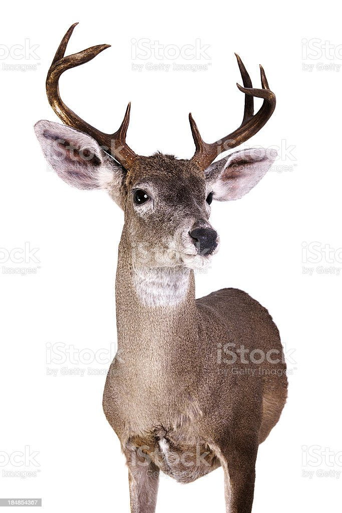 Coues Deer royalty-free stock photo