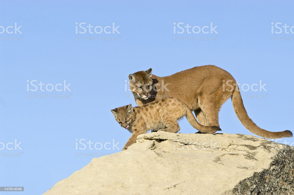 Cougar and kit stock photo