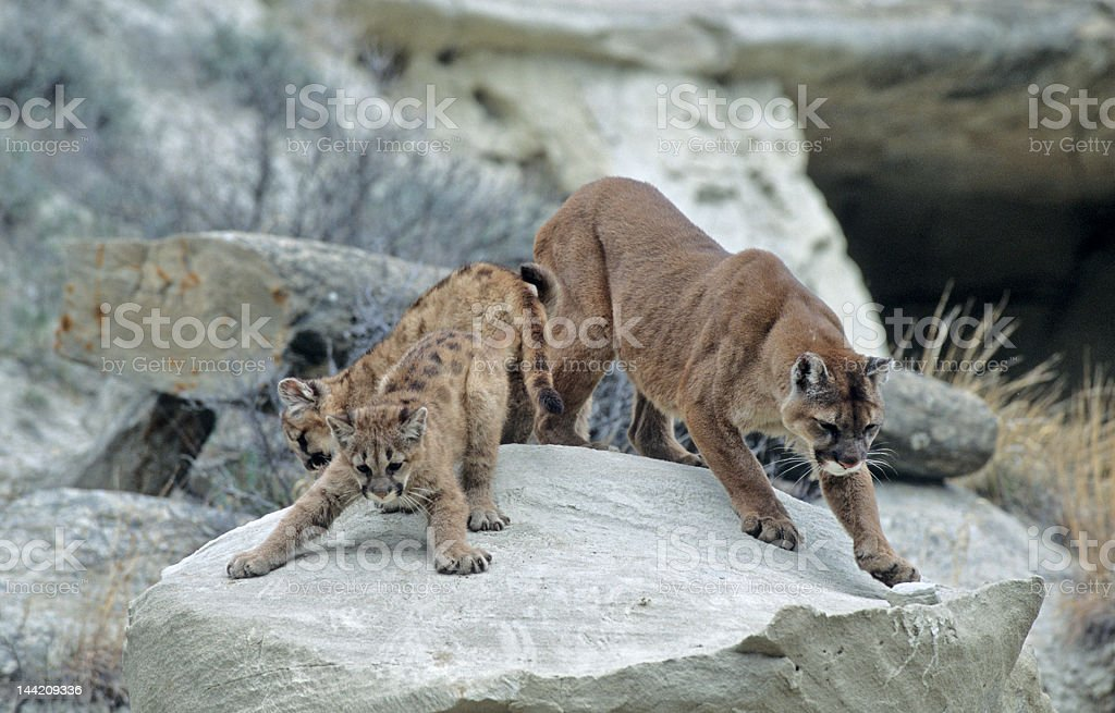 Cougar and kits in North Dakota's badlands stock photo