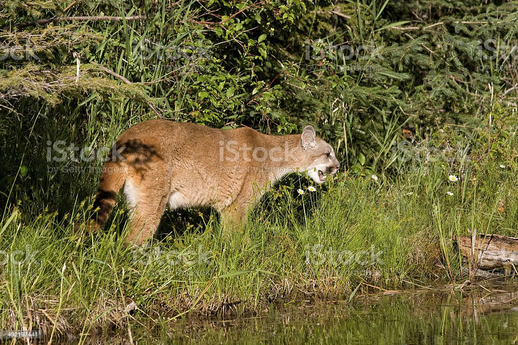 Cougar by the River stock photo