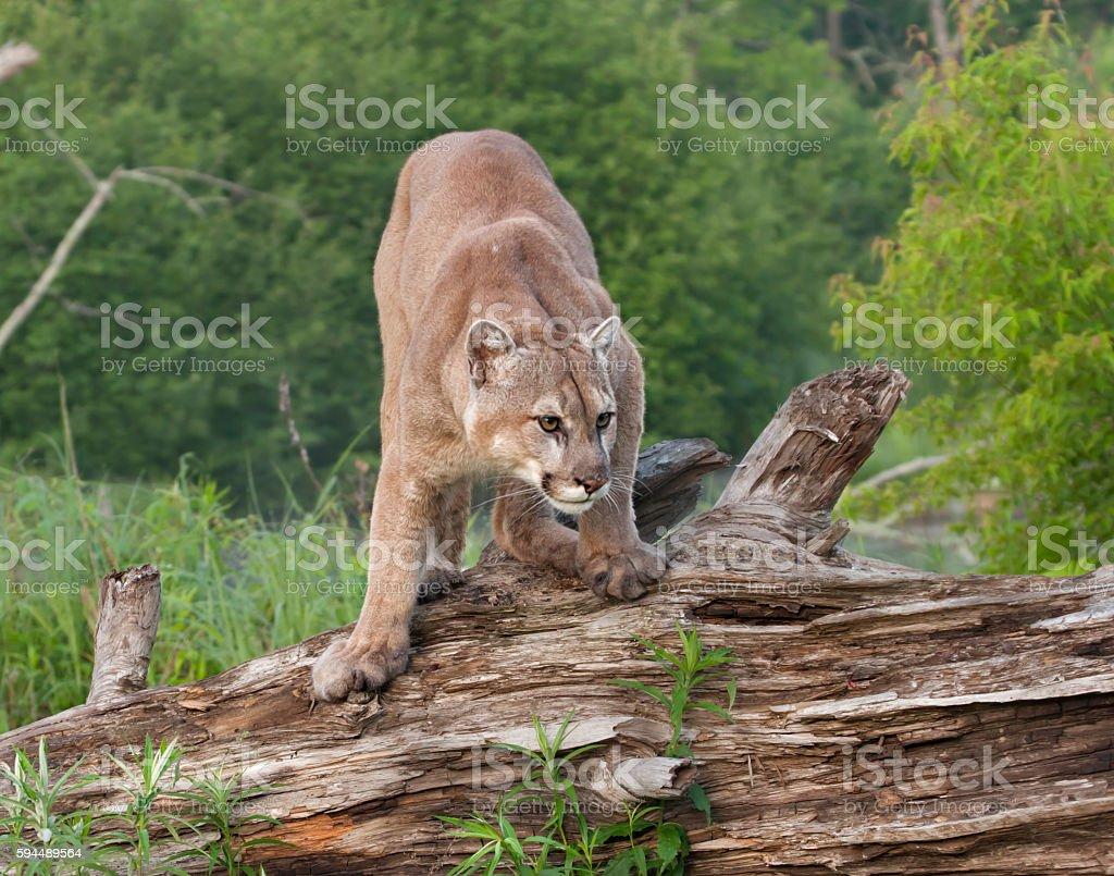 Cougar Crouching stock photo