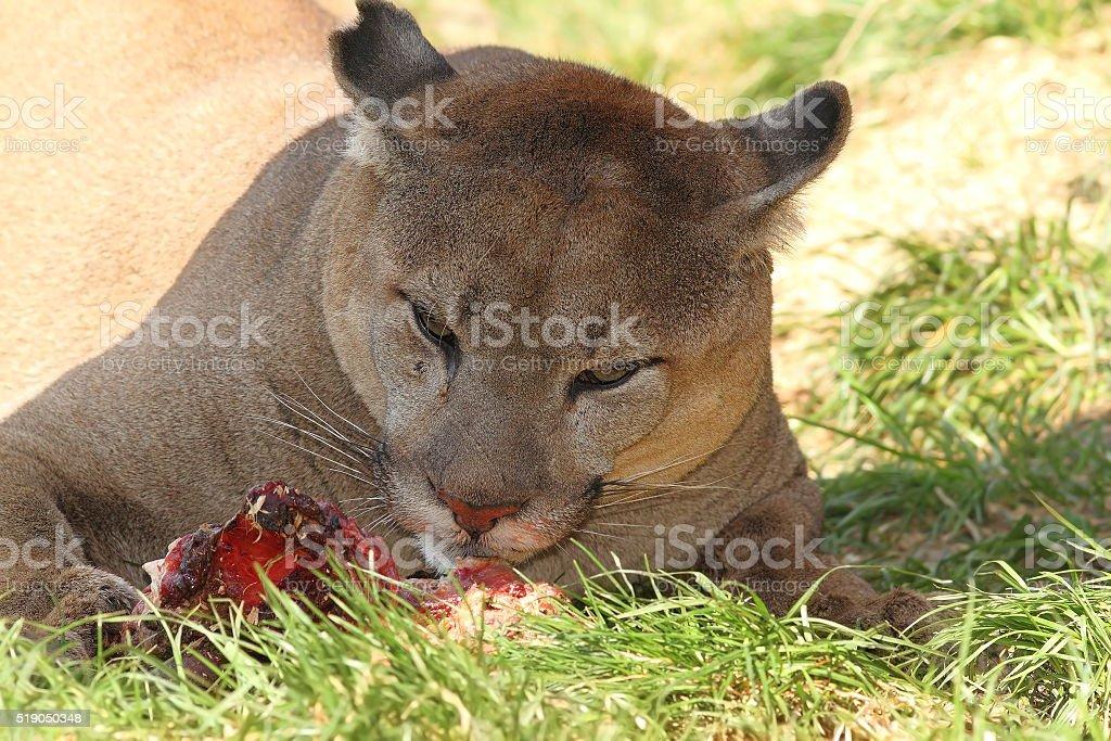 cougar eating stock photo