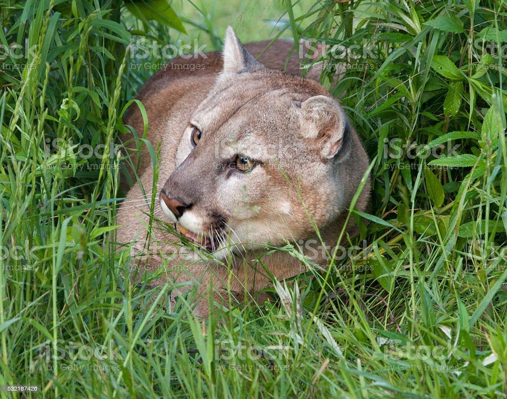 Cougar Hiding in Tall Grass stock photo